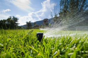 Remember to water in winter months if the weather remains warm and dry.