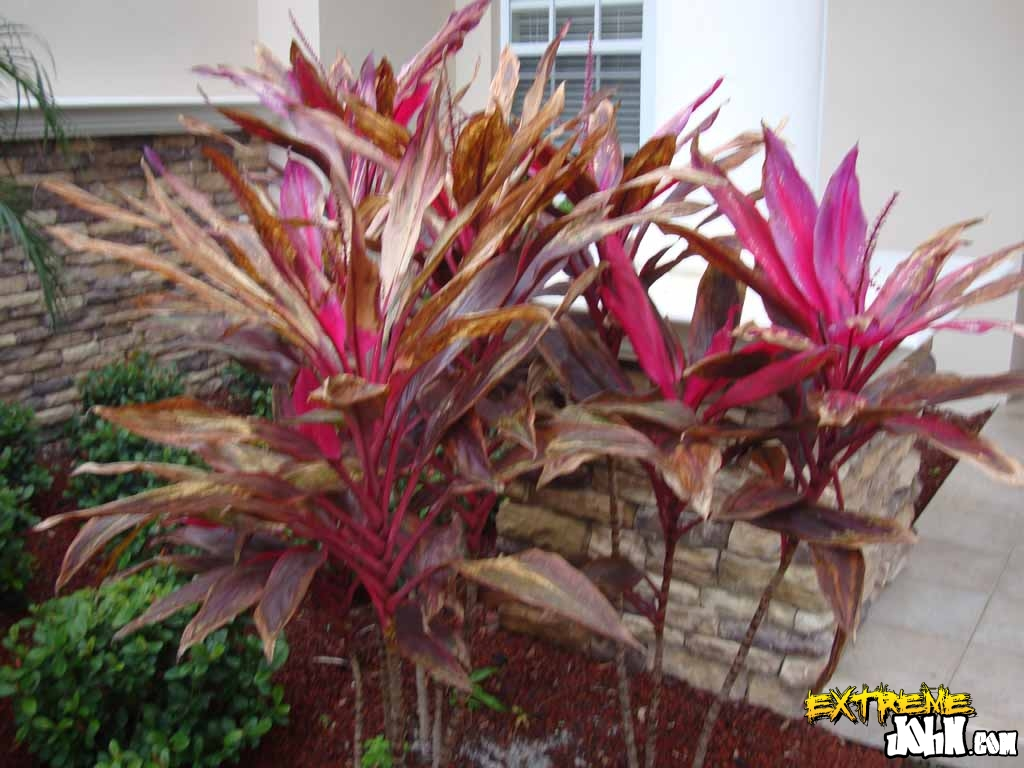Hawaiian Ti plants with frost damage - Tips For Protecting Your Florida Lawn & Plants Harmony - Outdoor