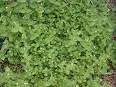 Chickweed is one of the more common broadleaf weeds