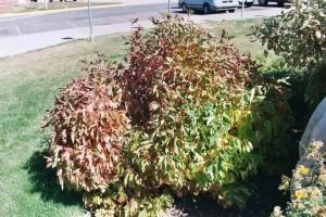 Water stressed Viburnum shrub in Florida
