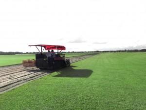 Farm fresh sod being cut