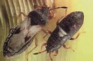 florida chinch bugs