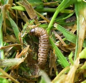 Florida sod worm
