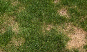 Lawn with infestation. Insect or fungus.Please Also See: