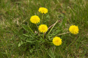 Dandelion plant or weed growing in a lawn. It is spring and the perfect time to treat lawns for weed problems. Shot with Canon 5D Mark II DSLR camera.